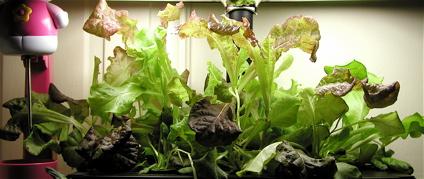 lettuce day 41
