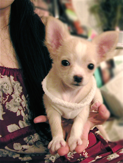 HuaHua, a Long Hair Chihuahua