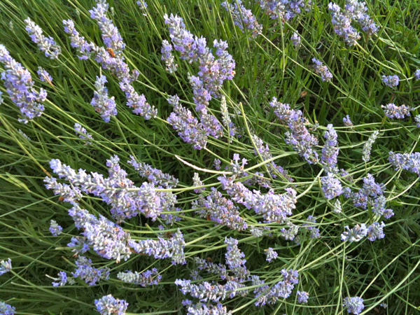 Bees love lavender as much as I do!