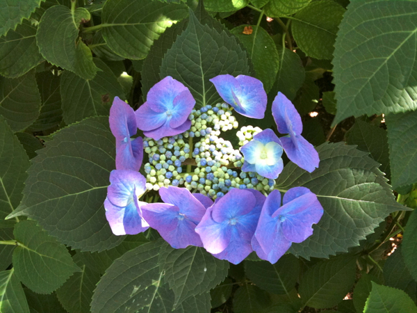 Lacehead Hydrangea, my fav!