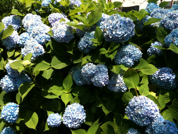 Nantucket made me love blue hydrangea